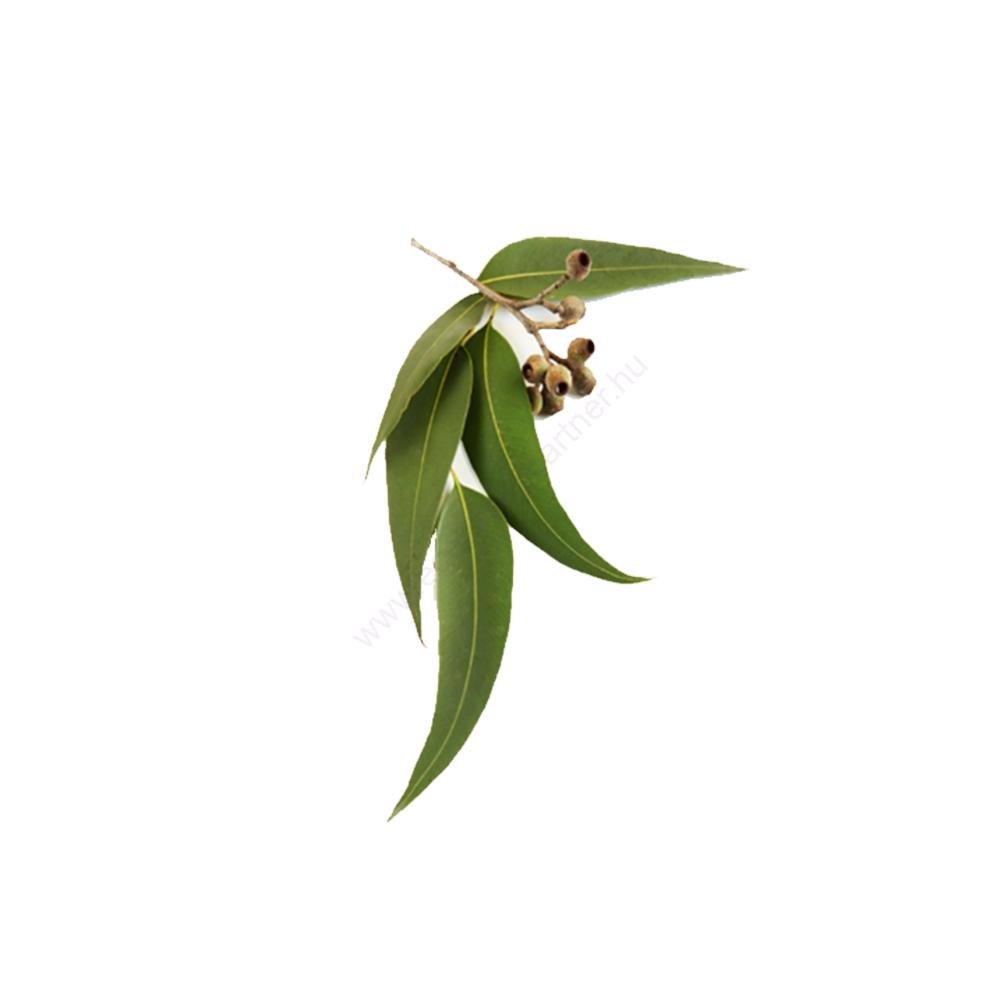 eukaliptusz növény fotó