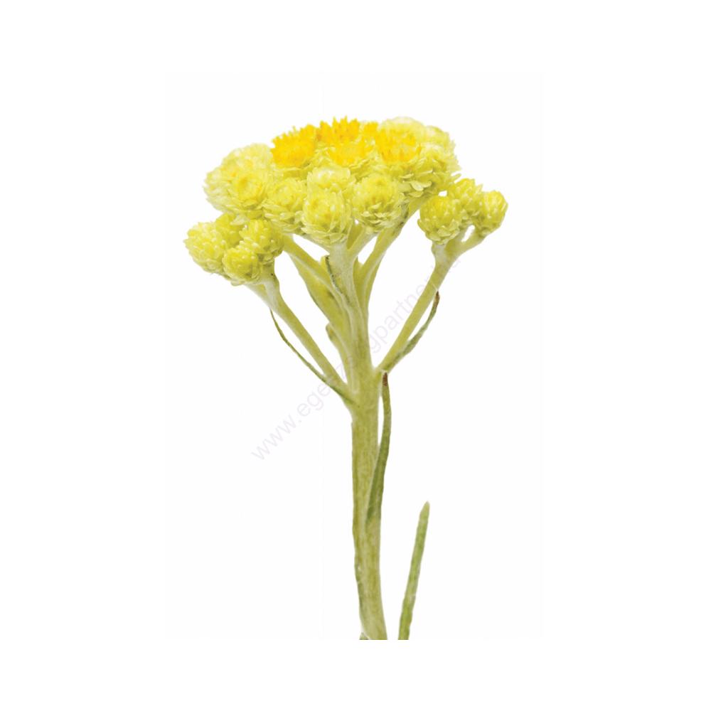 helichrysum_virág
